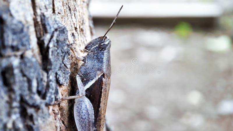 Den mörka bruna sikten för gräshoppahalvakroppen som sitter på ett träd fokuserade väl, makroskottvänstra sidan royaltyfria bilder