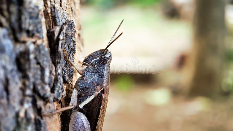 Den mörka bruna sikten för gräshoppahalvakroppen som sitter på ett träd fokuserade väl, makroskottvänstra sidan arkivfoton