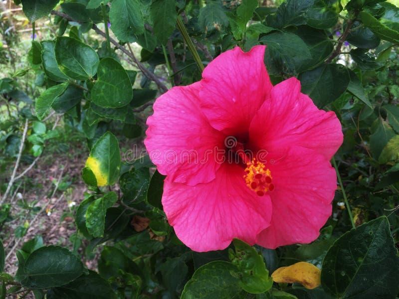 Den mörka rosa hibiskusblomman blommar på busken i trädgården royaltyfria foton