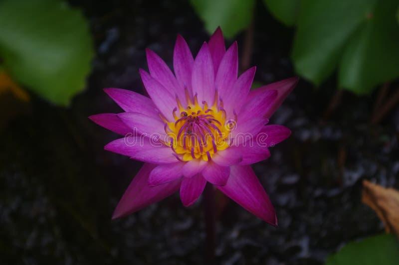 Den mörka rosa lotusblomman består av gula stamens med krypklättrare royaltyfria foton
