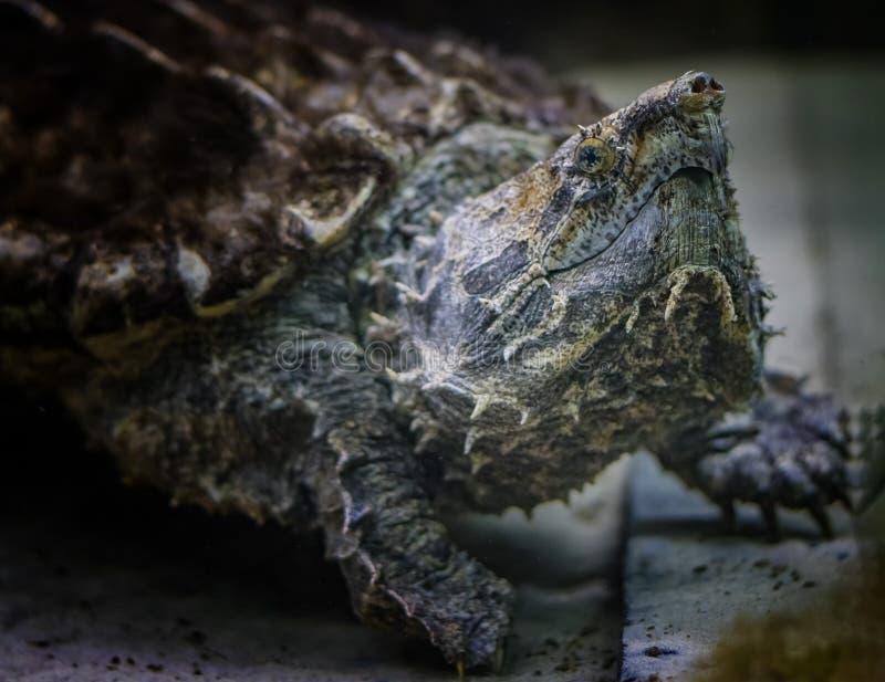 Den Macrochelys för den låsande fast sköldpaddan för alligatorn temminckiien är art av sköldpaddan i familjchelydridaen royaltyfria bilder