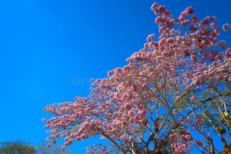 Den Maculis trädrosa färgen blommar den Tabebuia roseaen royaltyfria foton