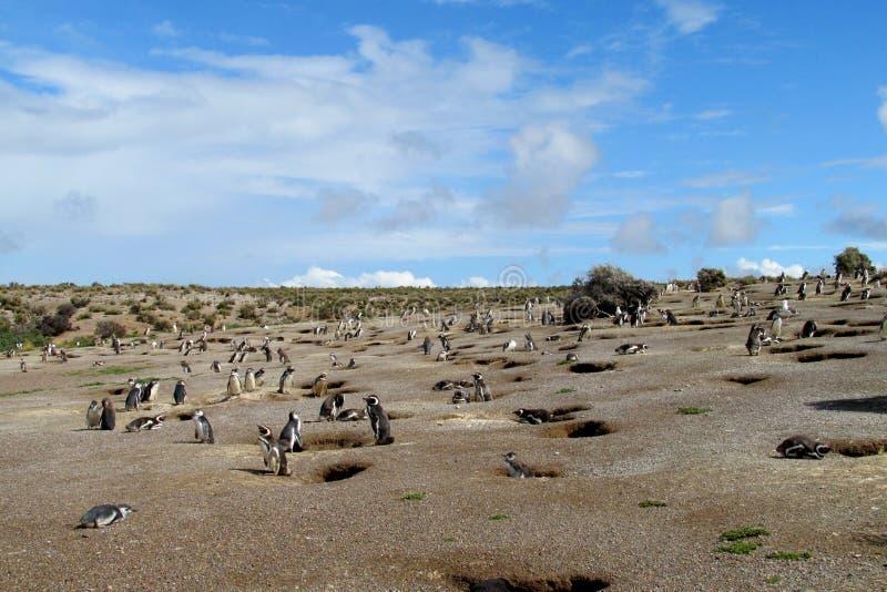 Den Magellan pingvinkolonin nära gräver royaltyfri foto