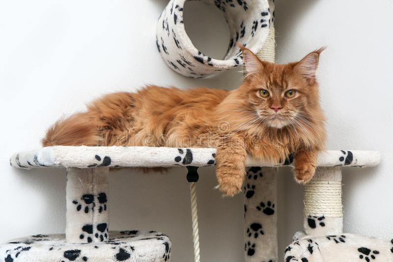 Den Maine Coon katten ligger på lekhuset royaltyfri bild