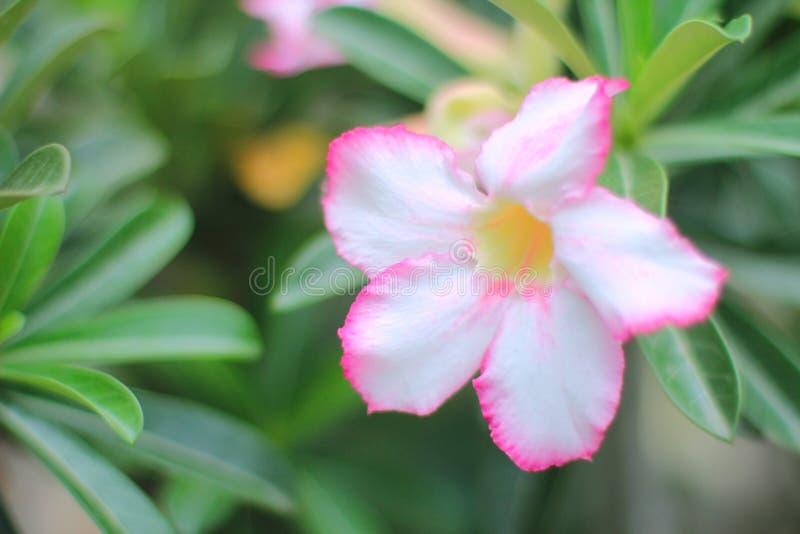 Den makroAdeniumobesumen eller öknen steg Färgrika blommor är härliga träd som växer mycket lätt motståndskrafttorkavillkor arkivfoto