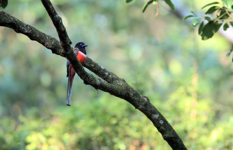 Den Malabar trogonen - Harpactes fasciatus royaltyfria foton