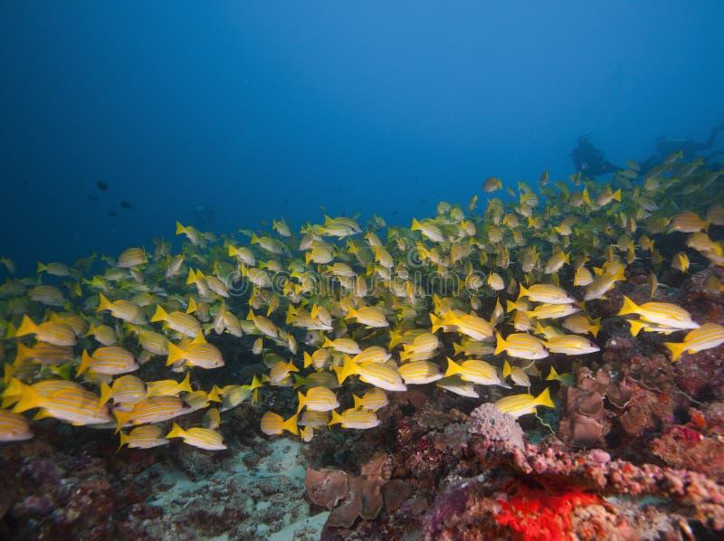 Den maldiviska fisken flockas simning i korall- och turkosvatten fotografering för bildbyråer