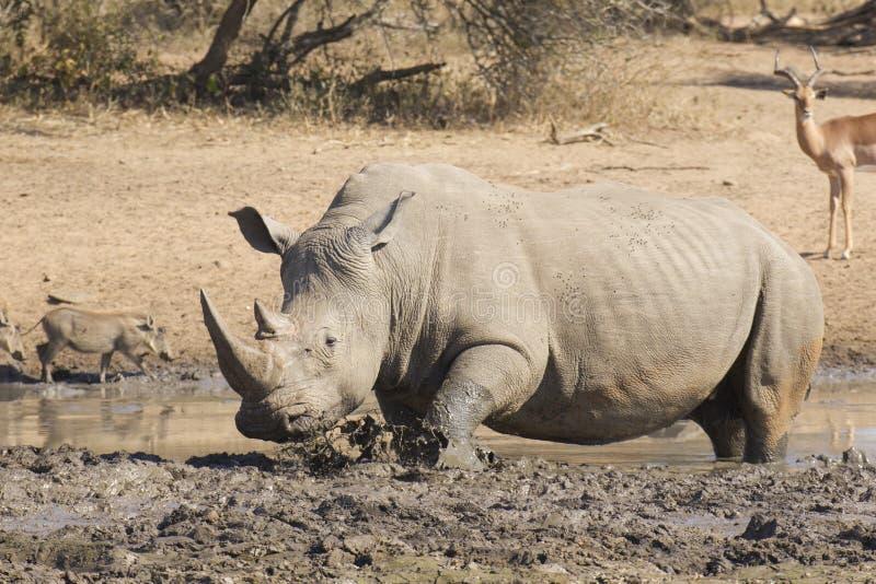 Den Male vitnoshörningen i mud wallow, Sydafrika royaltyfria foton