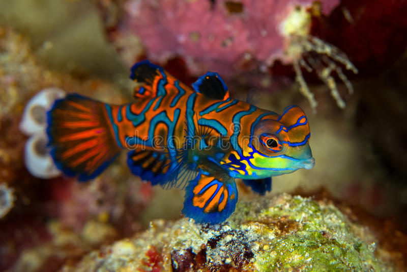 Den Mandarinfish eller mandarindragonetSynchiropus splendidusen är arkivfoto