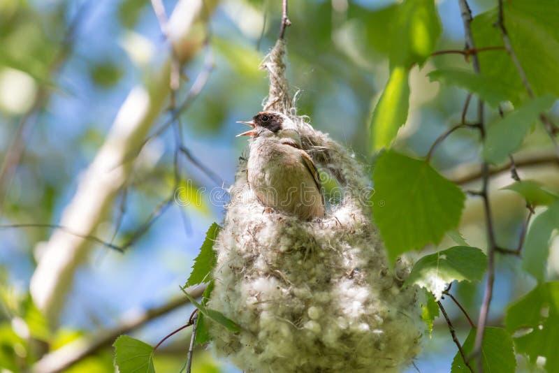Den manliga Eurasianpendulinemesen som sjunger på oavslutat rede fotografering för bildbyråer