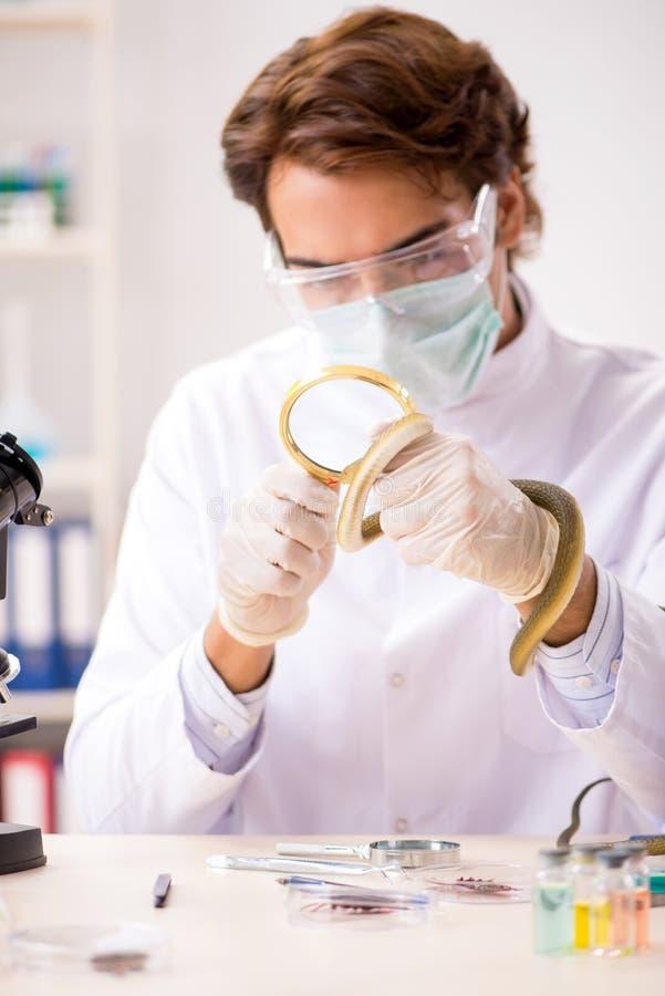 Den manliga forskaren som drar ut gift från ormen för drogsyntes royaltyfria bilder