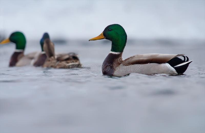 Den manliga gräsandet simmar i grupp med andra änder royaltyfri fotografi