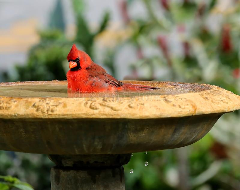 Den manliga kardinalen kyler av i en fågelbad arkivfoto