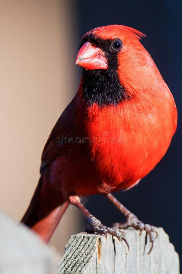 Den manliga kardinalen på Fencepost vände royaltyfri bild