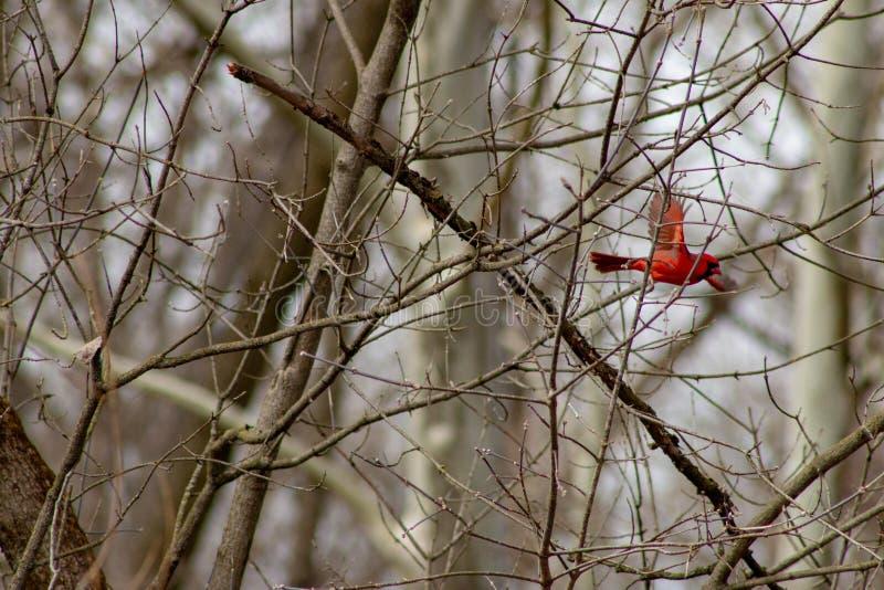 Den manliga nordliga kardinalen övervintrar i flykten, i ett träd som är kalt arkivbilder