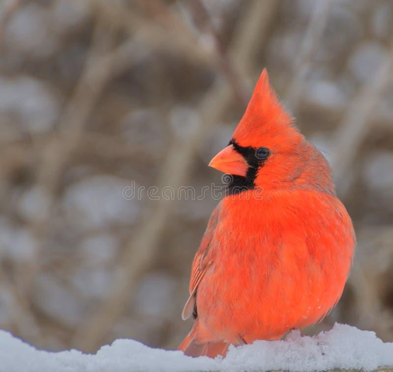 Den manliga nordliga kardinalen sätta sig att se royaltyfri foto