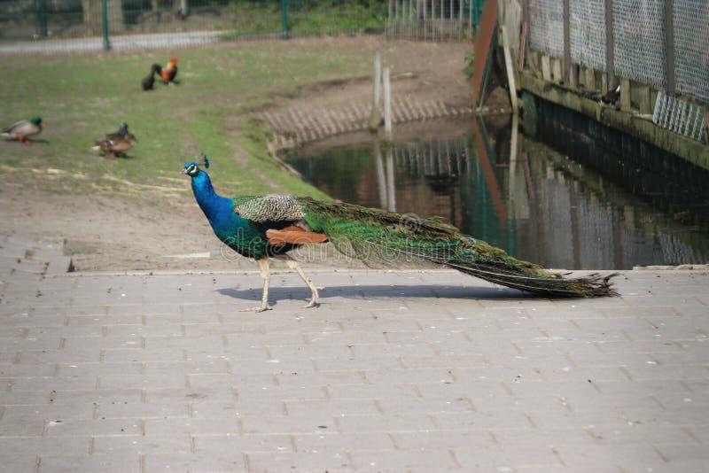Den manliga påfågeln mellan andra djur på barn brukar i Nieuwerkerk den aan hålan IJssel arkivfoton
