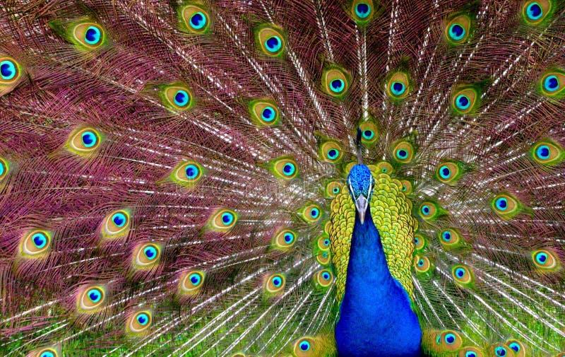 Den manliga påfågeln visar hans fjädrar som en para ihopappell royaltyfria foton