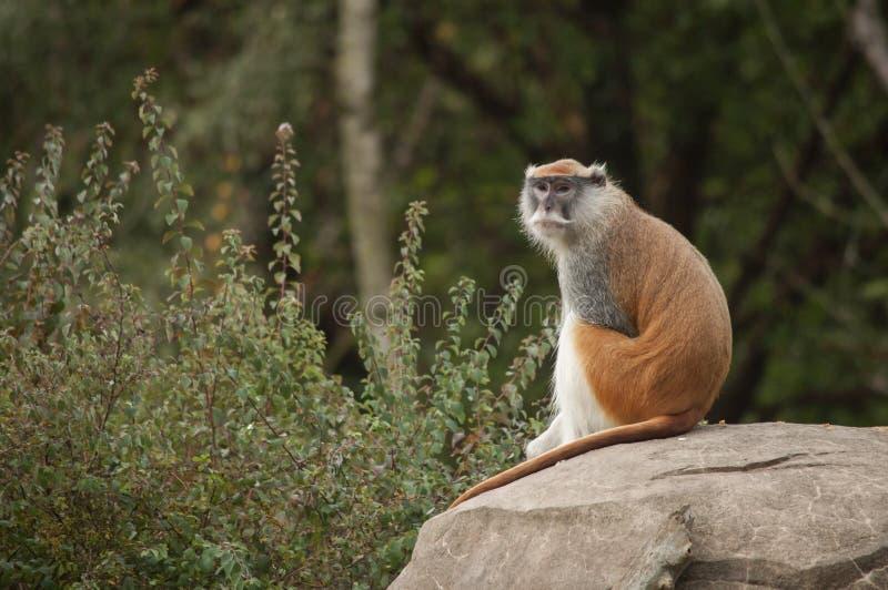 Den manliga Patas apan, skogsmark parkerar zoo, Seattle, Washington fotografering för bildbyråer