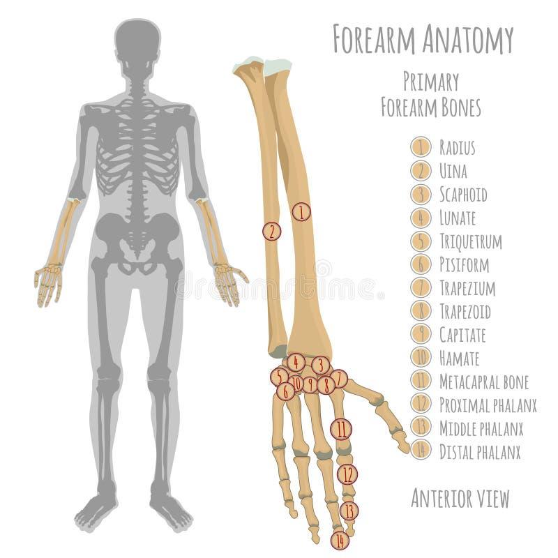 Den manliga underarmen benar ur anatomi stock illustrationer