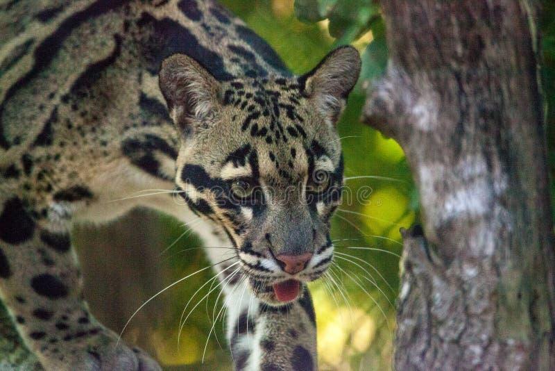 Den manliga vuxna människan fördunklade leoparden, den Neofelis som nebulosaen listas som sårbar arkivfoto