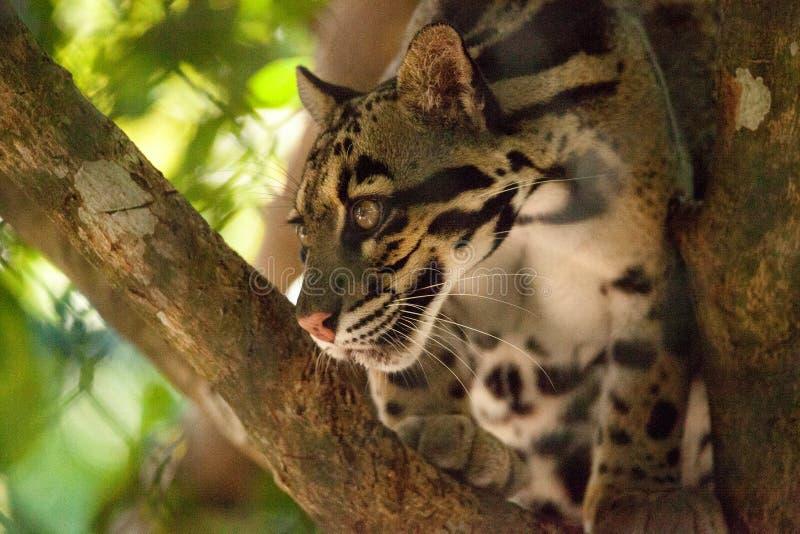 Den manliga vuxna människan fördunklade leoparden, den Neofelis som nebulosaen listas som sårbar fotografering för bildbyråer