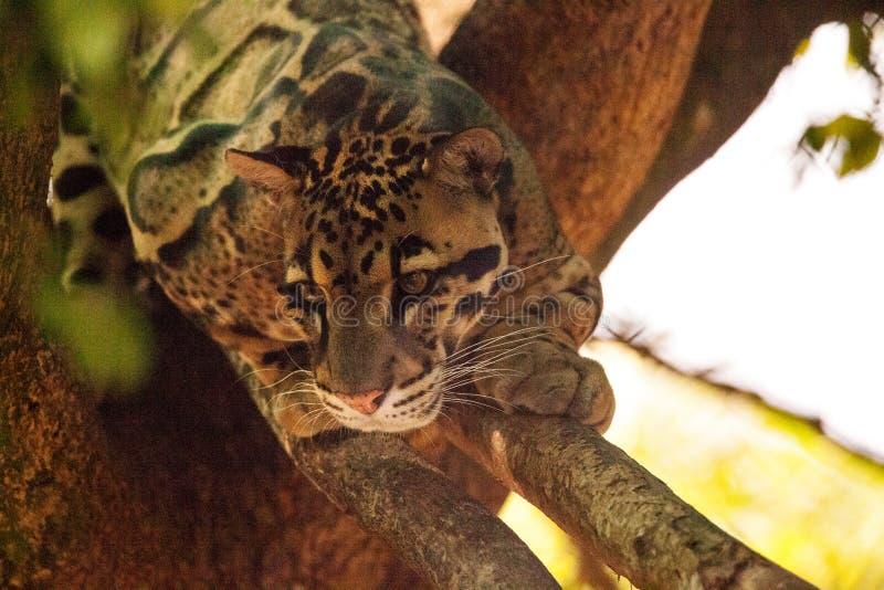 Den manliga vuxna människan fördunklade leoparden, den Neofelis som nebulosaen listas som sårbar arkivbilder