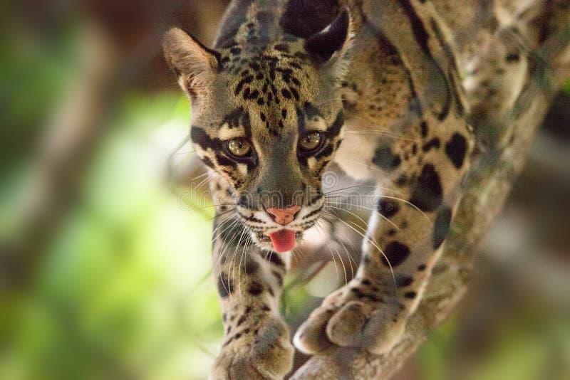 Den manliga vuxna människan fördunklade leoparden, den Neofelis som nebulosaen listas som sårbar arkivbild