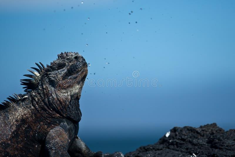 Den marin- leguanen utsöndrar/nysa salt vatten arkivfoto