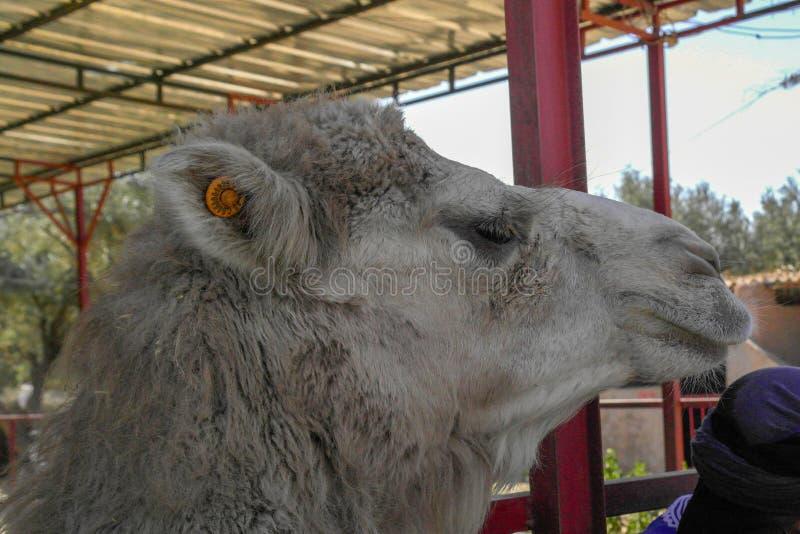 Den marockanska kamlet royaltyfria bilder