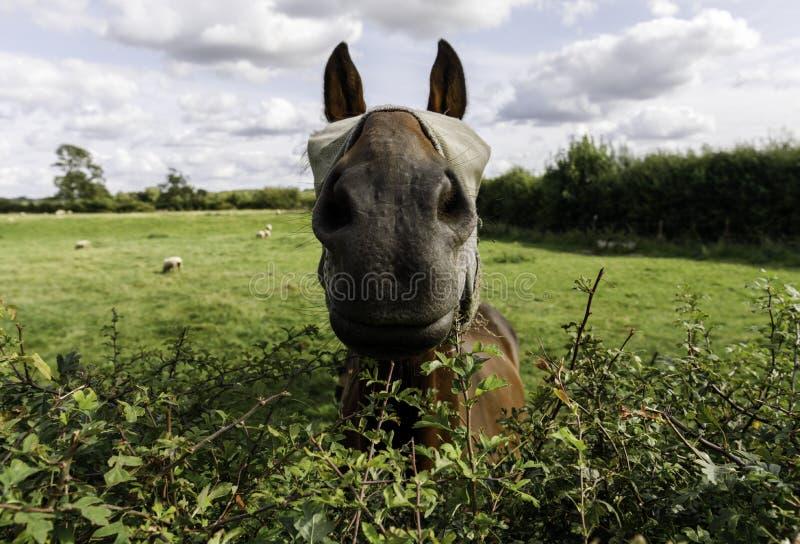 Den maskerade hästen talar över en häck royaltyfri foto