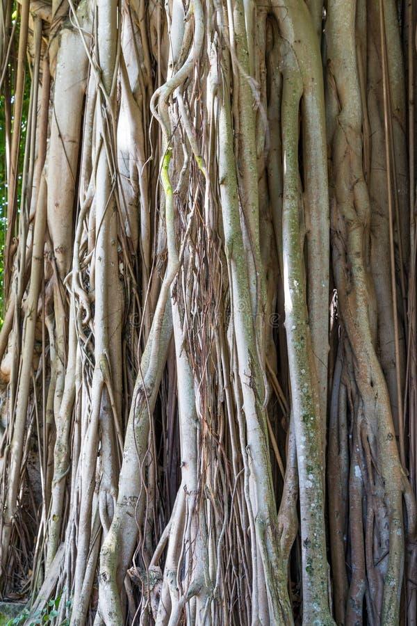 Den massiva banyanen rotar arkivfoto
