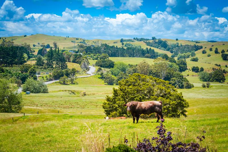 Den massiva mörka bruna tjuren på en frodig gräsplan betar av gräs på en solig höstafternooon royaltyfri bild