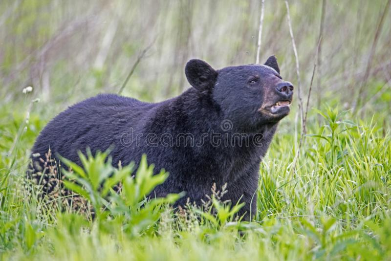 Den massiva manliga svarta björnen i den Cades lilla viken sniffar vinden royaltyfria bilder