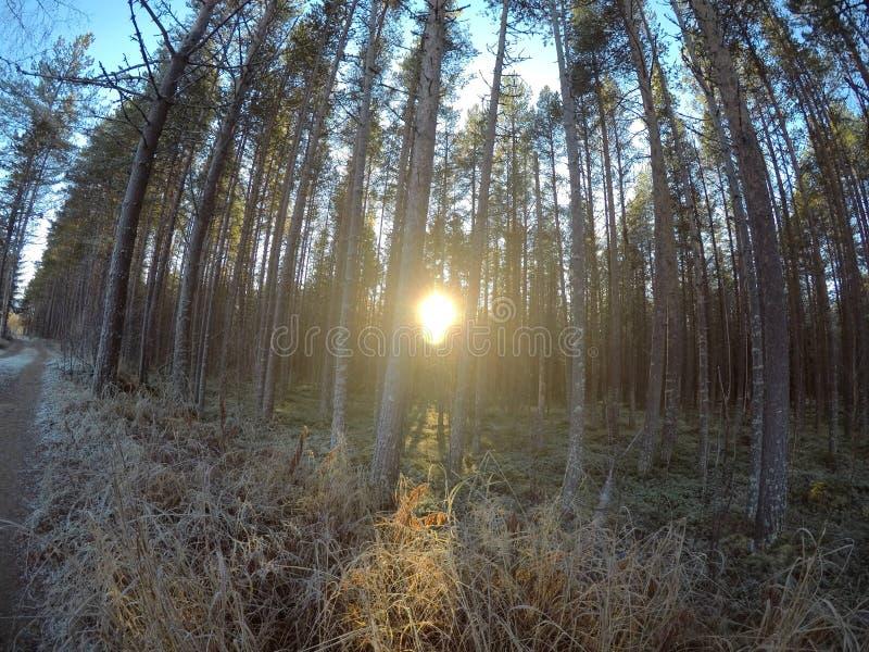 Den massiva solskenho sörjer trädskogen arkivfoto