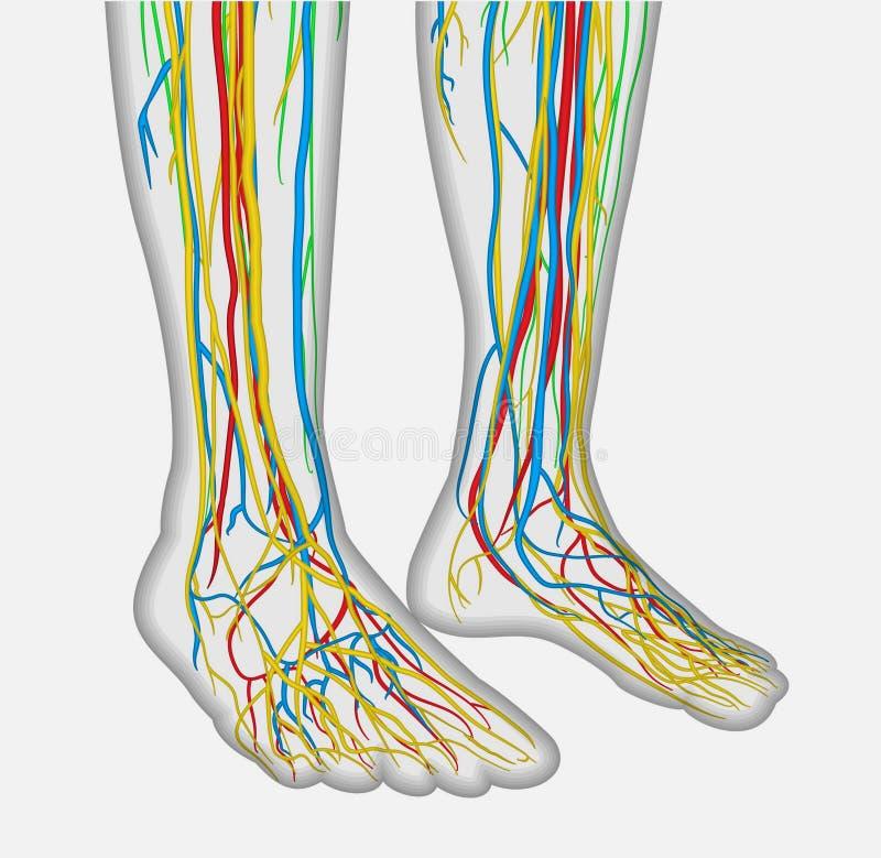 Den Medically exakta anatomiillustrationen av mänsklig fot lägger benen på ryggen med det nervös och blodsystemet stock illustrationer