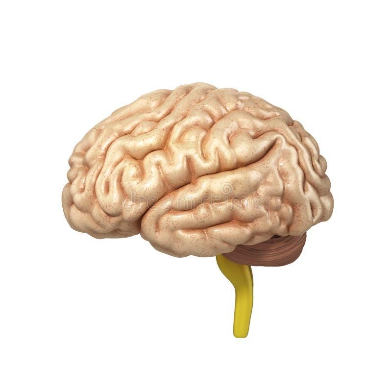Den Medically exakta illustrationen av hjärnan 3d framför vektor illustrationer