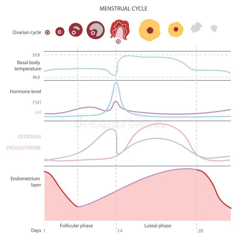 Den menstruations- cirkuleringen som visar ändringshormoner, vektor illustrationer