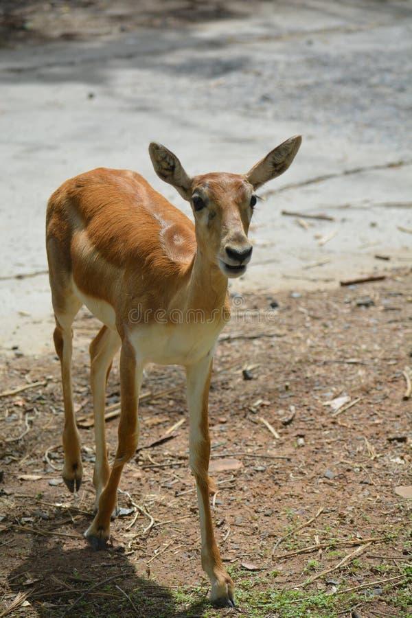 Den mest clossest bilden för härliga indiska hjortar arkivbild