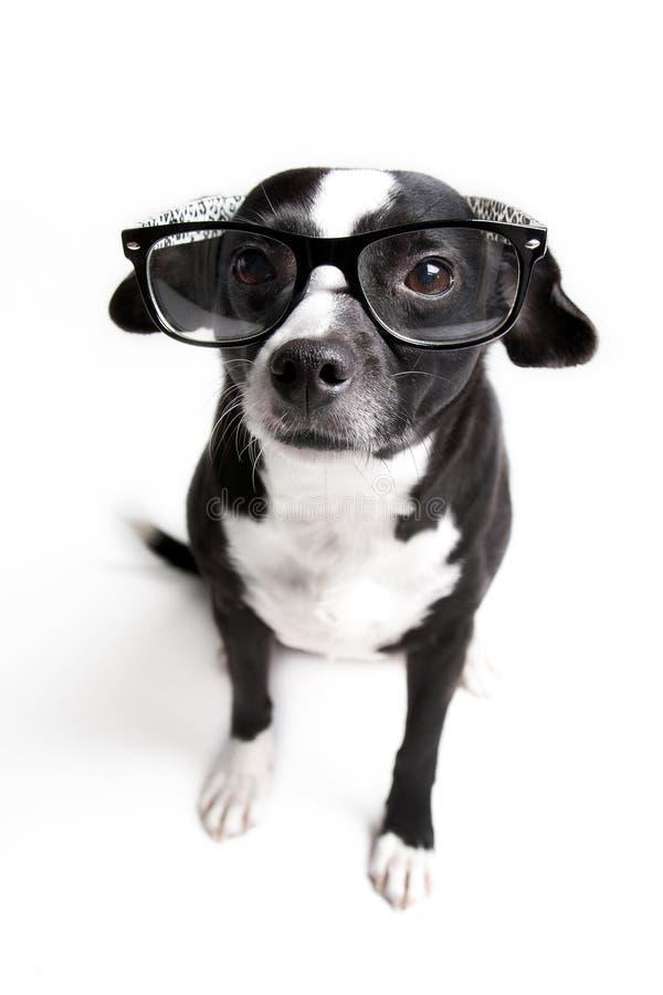 Den mest gulliga hunden håller ögonen på dig med exponeringsglas på mot vit bakgrund arkivbild