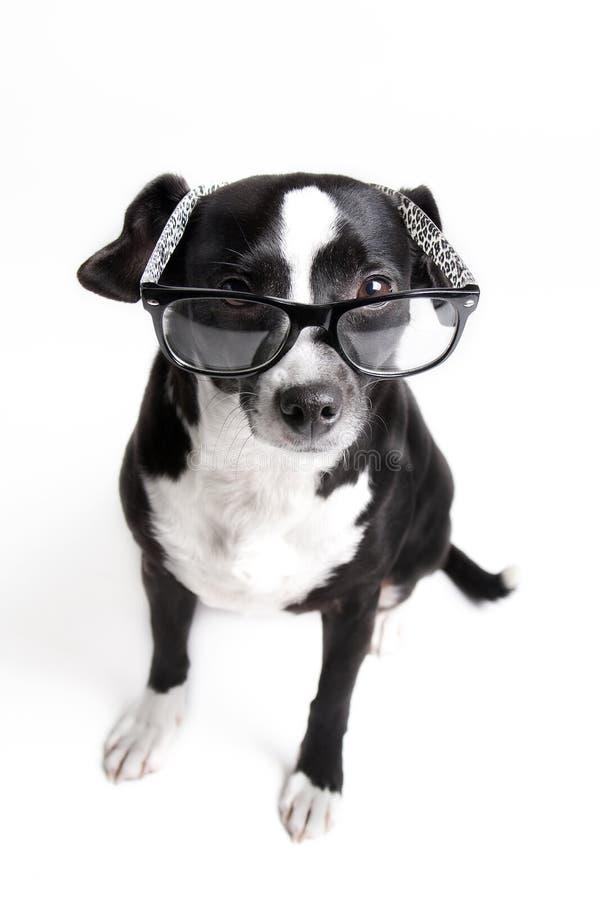 Den mest gulliga hunden håller ögonen på dig med exponeringsglas på mot vit bakgrund arkivfoton
