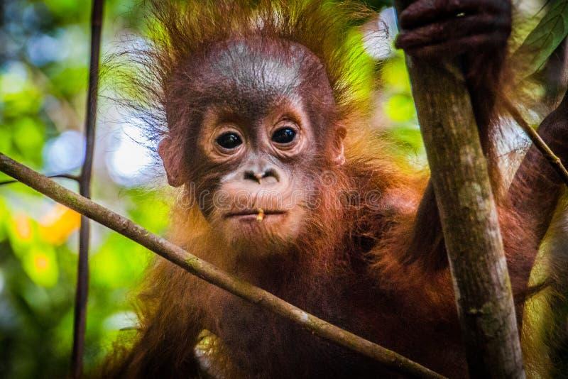 Den mest gulliga världen behandla som ett barn orangutangblickar in i kamera i Borneo royaltyfri bild