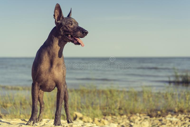 Den mexicanska hårlösa hunden Xoloitzcuintle, Xolo står full längd på en sandig strand mot den blåa himlen som ut klibbar hans tu royaltyfri bild
