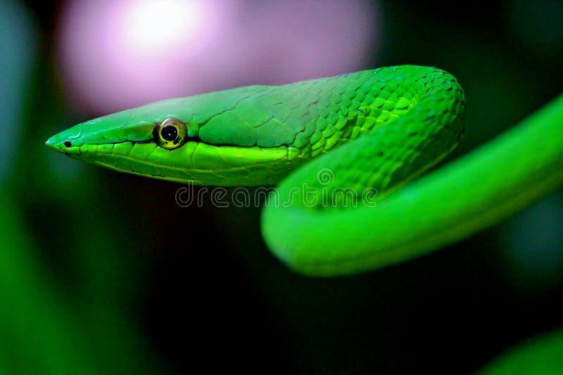 Den mexikanska ormen royaltyfri bild