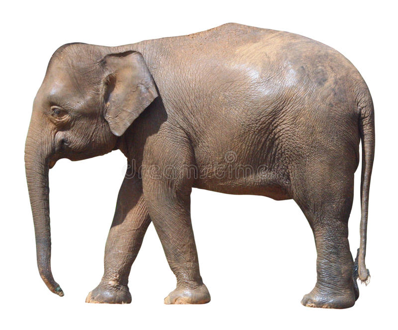 Den minsta elefanten, dyrbar Borneo pygméelefant på vit bakgrund royaltyfri bild