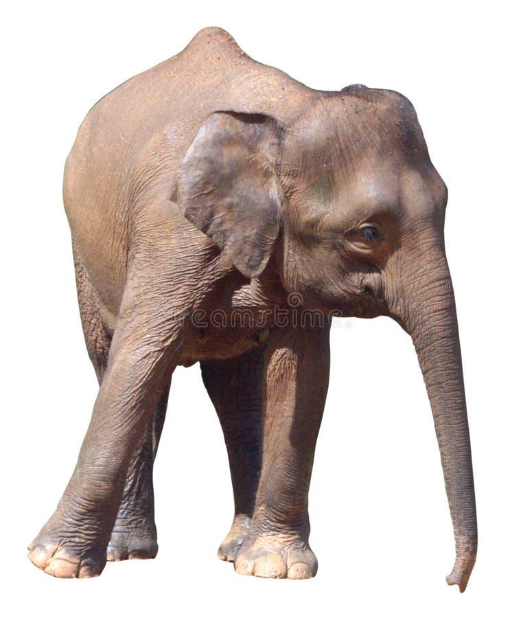 Den minsta elefanten, dyrbar Borneo pygméelefant på vit bakgrund royaltyfria foton