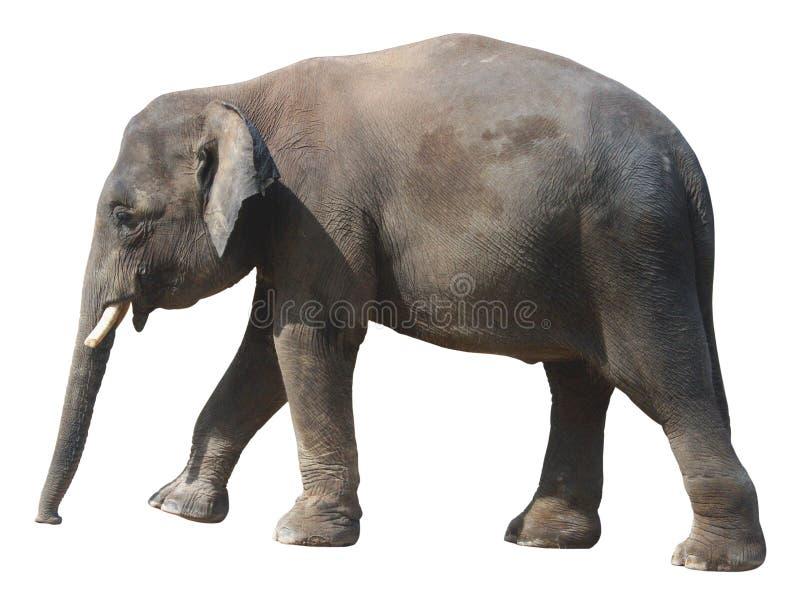 Den minsta elefanten, dyrbar Borneo pygméelefant på vit bakgrund arkivbild