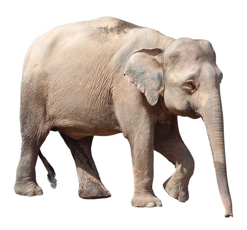 Den minsta elefanten, dyrbar Borneo pygméelefant på vit bakgrund royaltyfri foto