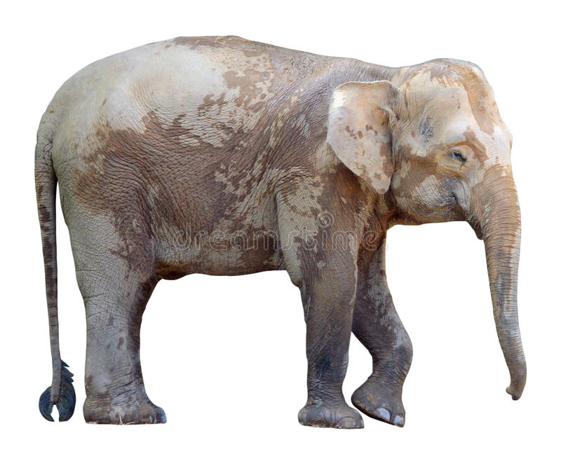 Den minsta elefanten, dyrbar Borneo pygméelefant på vit bakgrund royaltyfri fotografi