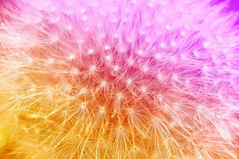 Den mjuka apelsin- och violetlutningen med maskrosen blommar bakgrund arkivfoto